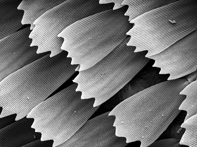 Butterfly Wing, 350x Magnification
